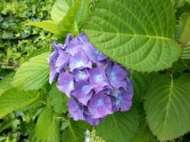 Beautiful hydrangea. Closeup of a beautiful purple hydrangea and green leaves Stock Images