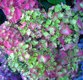 Beautiful Hydrangea clusters of multicolored flowers Royalty Free Stock Images