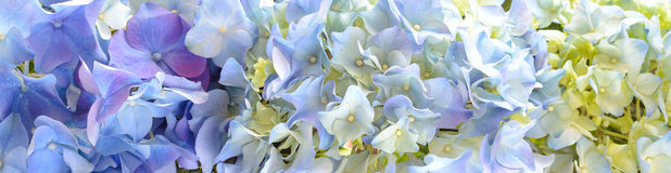 Beautiful Hydrangea Flower banner or Background. Stock Image