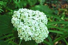 Beautiful hydrangea flower Stock Photos