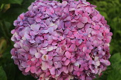 Beautiful hydrangea flowerhead. A hydrangea flowerhead, formed by beautiful pink flowers Royalty Free Stock Photo