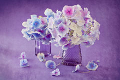 Beautiful hydrangea flowers Royalty Free Stock Photography