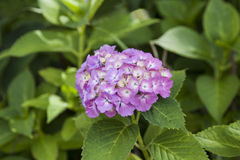 Beautiful Hydrangea flowers in Japan Stock Photography