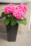 Beautiful hydrangea flowers in pot outdoors Stock Photography