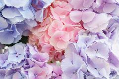 Beautiful hydrangea flowers in a vase on a table . Bouquet of light blue, lilac and pink flower. Decoration of home.  Royalty Free Stock Image