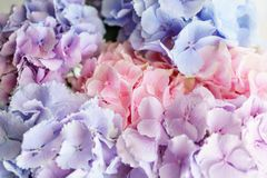 Beautiful hydrangea flowers in a vase on a table . Bouquet of light blue, lilac and pink flower. Decoration of home.  Royalty Free Stock Images