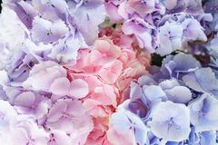Beautiful hydrangea flowers in a vase on a table . Bouquet of light blue, lilac and pink flower. Decoration of home.  Royalty Free Stock Photo