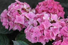 Beautiful hydrangea paniculate. Beautiful flower. Summer. royalty free stock images
