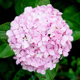 Beautiful hydrangea plant Stock Images