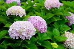 Beautiful hydrangea plant Royalty Free Stock Image