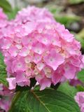 Beautiful hydrangeas Royalty Free Stock Images