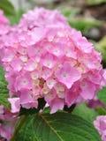 Beautiful hydrangeas. Beautiful and elegant hydrangeas in full bloom Royalty Free Stock Images