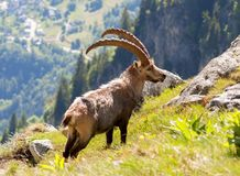 Ibex on the hill in Alps. Beautiful ibex with the long horns in Alps, Les Sept Laux, France Stock Photos