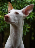 A beautiful Ibizan Hound in Scotland. Royalty Free Stock Photo