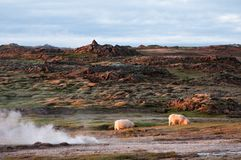 Beautiful Iceland scenery with pair of sheep Royalty Free Stock Photos