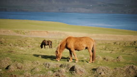 Beautiful Icelandic ginger horse grazing on the meadow. Animal farm outside the city near the water. Scenic landscape of the mountains, sea and field stock video footage