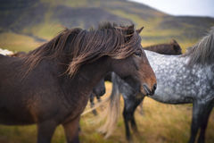 Beautiful Icelandic Horse Stock Photography