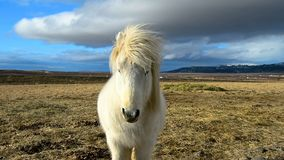 Beautiful Icelandic horse standing on field in nature stock video