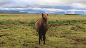 Icelandic horses grazing in the field stock video