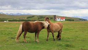 Icelandic horses grazing in the field, Iceland stock footage