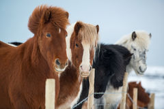 Beautiful icelandic horses in winter, Iceland Stock Photos