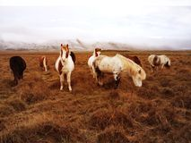 Beautiful Icelandic rural horses in natural agricultural landscape with snow-capped mountain range background.  Stock Photos