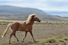 Beautiful Icelandic stallion at a trot. Flaxen chestnut. Icelandic landscape in the background royalty free stock photos