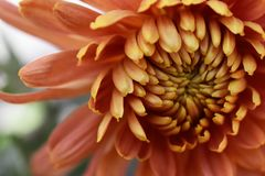 Beautiful icolorful autumn flower in the sunshine royalty free stock photography