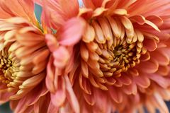 Beautiful icolorful autumn flower in the sunshine royalty free stock image