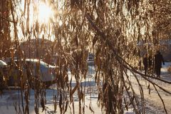 Beautiful icy branches of a weeping willow. Shine in the sun in the winter, Ice pellets stock image