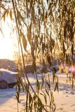 Beautiful icy branches of a weeping willow. Shine in the sun in the winter, Ice pellets royalty free stock photo