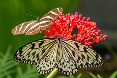 A beautiful Idea leuconoe Papiervlinder with a Heliconius charitonia zebravlinder in the butterfly Garden of the Zoo Wildlands stock image