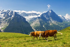 Beautiful idyllic alpine landscape with cows, Alps mountains  and countryside in summer Stock Image
