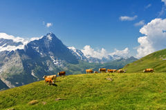 Beautiful idyllic alpine landscape with cows, Alps mountains  and countryside in summer Stock Photos