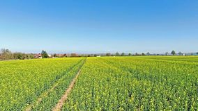 Beautiful idyllic nature, aerial fly above canola oilseed field, forward motion view over agricultural countryside landscape stock footage
