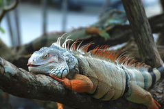 Beautiful iguana Stock Image