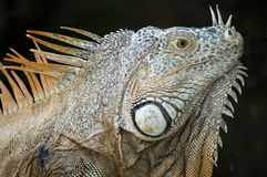 Beautiful Iguana Stock Photo