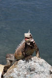 Beautiful iguana Royalty Free Stock Photo