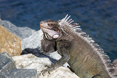Beautiful iguana Stock Photos