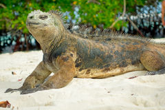 Beautiful iguana resting in the beach santa cruz Royalty Free Stock Photography