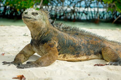 Beautiful iguana resting in the beach santa cruz Royalty Free Stock Photos