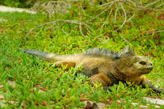 Beautiful iguana resting in the beach santa cruz Stock Image