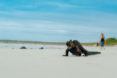 Beautiful iguana resting in the beach santa cruz Royalty Free Stock Image