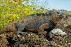 Beautiful iguana resting in the beach santa cruz Stock Images