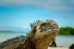Beautiful iguana resting in the beach santa cruz Royalty Free Stock Images