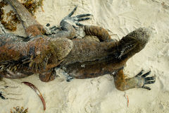 Beautiful iguana resting in the beach of santa Stock Images