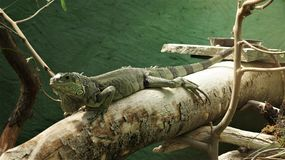A beautiful iguana on a trunk stock images