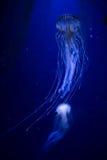Beautiful illuminated jellyfish Chrysaora Pacifica Royalty Free Stock Image