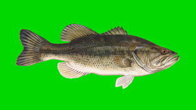 Beautiful Illustration of Bass Fish Swimming on a Green Screen Background stock video