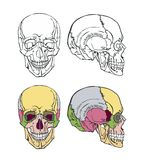 Beautiful illustration of the skull Stock Photo